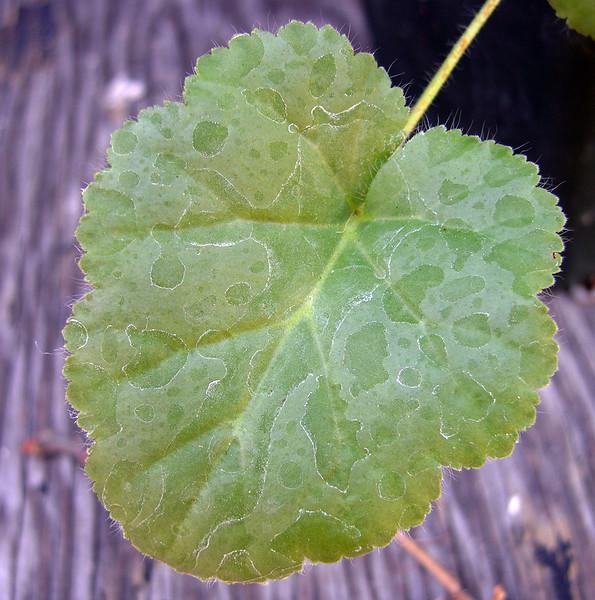 Pelargonium pulvernata Oribi flats leaf
