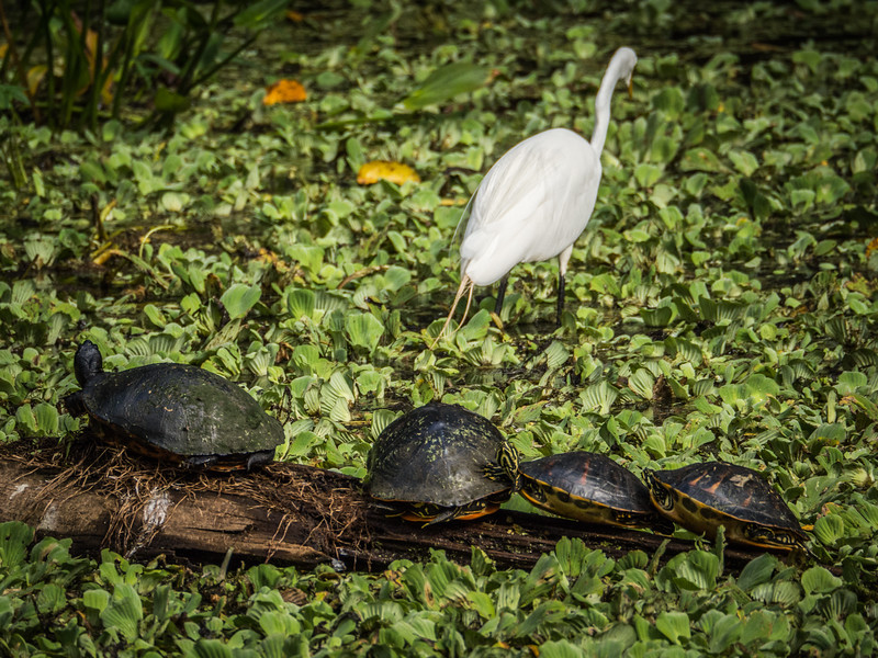 Turtles and Egret