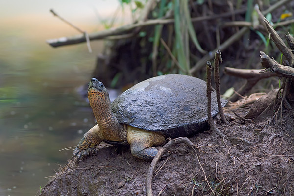 Brown Land Turtle