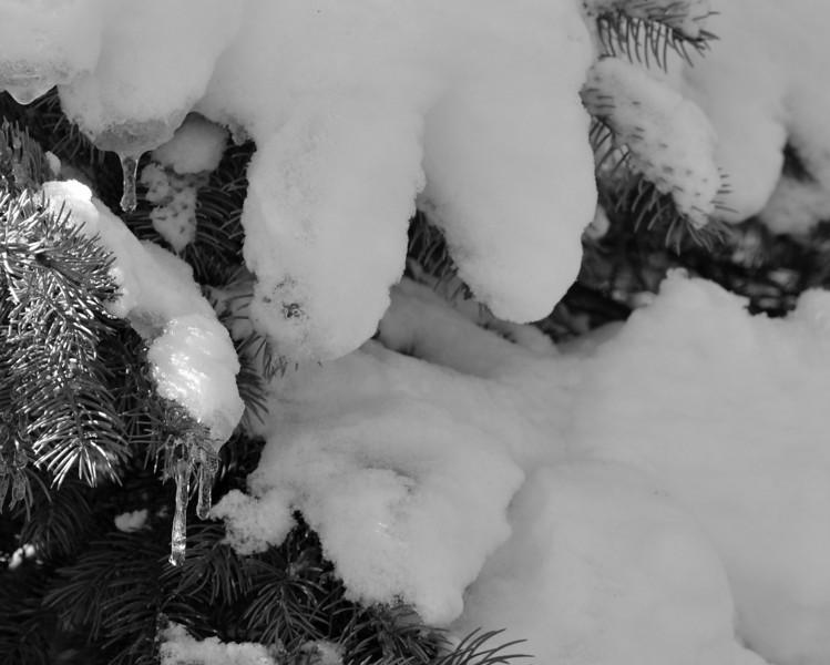 Snowy spruce bw.jpg