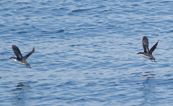 Craveri's Murrelet Synthliboramphus craveri
