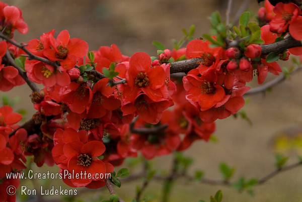 Utamaro Flowering Quince (Chaenomeles japonica 'Utamaro')