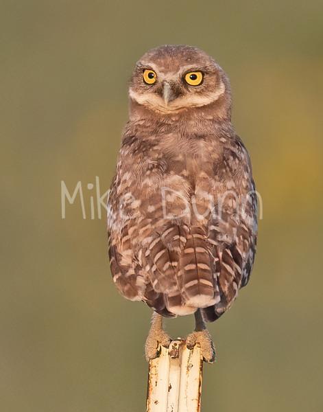 Burrowing Owl 21-61