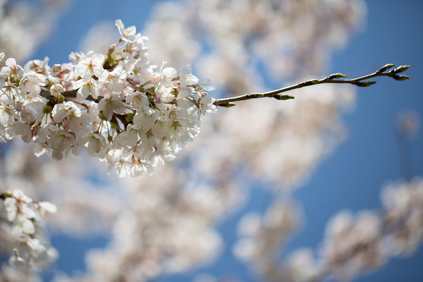 Cherry Blossoms 12-04