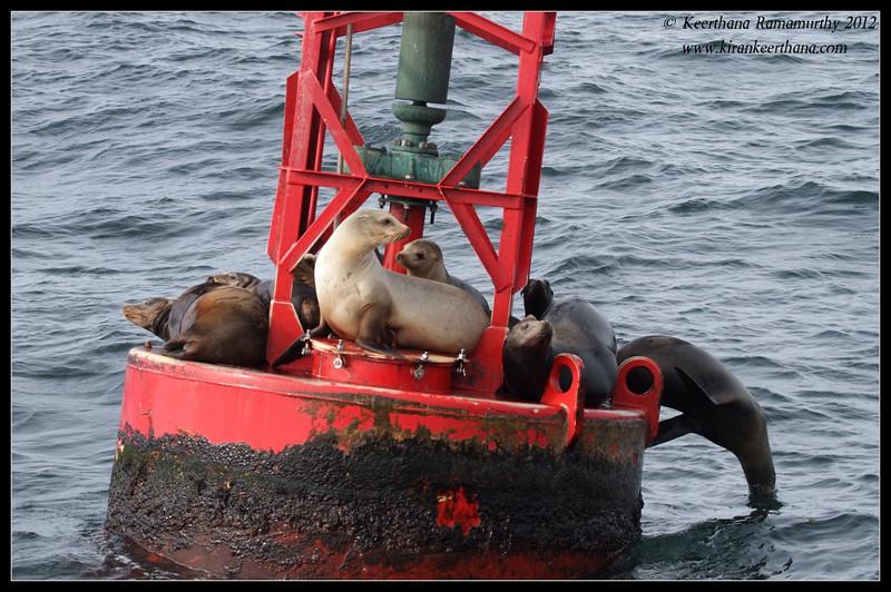 California Sea lions on the buoy, Dana Point Whale-watching trip, Orange County, California, January 2012