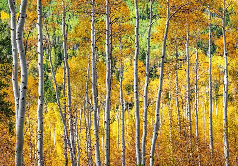 Afternoon Aspens, Colorado