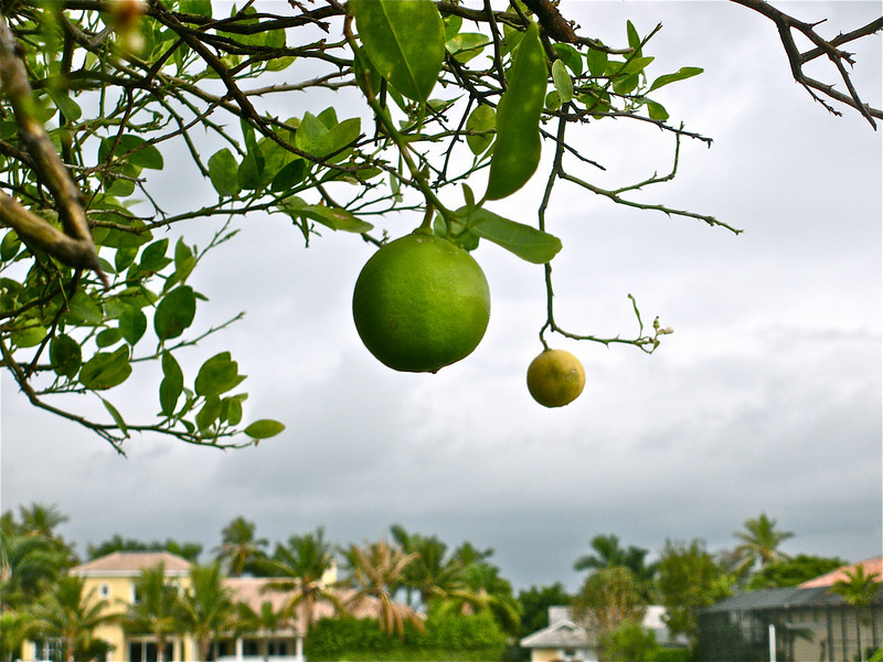 Key Lime tree.