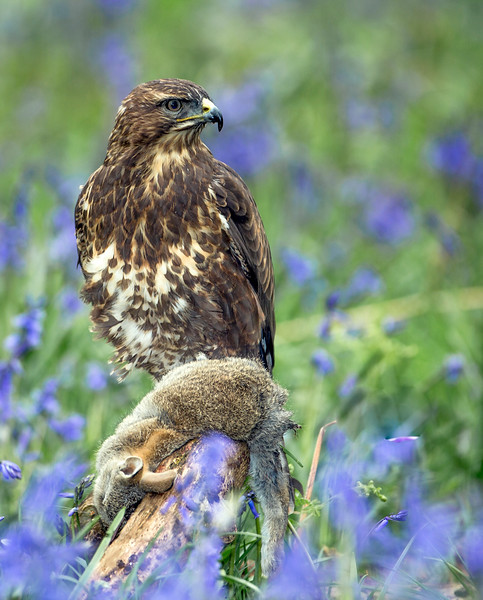 Buzzard in bluebells 3.jpg
