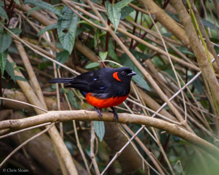 Scarlet-bellied Mountain-Tanager at Tandayapa Valley, Ecuador (03-06-2014) 029-128-Edit.jpg