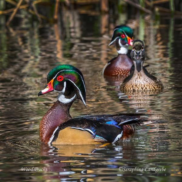 _DSC5206Three Wood duck b.jpg