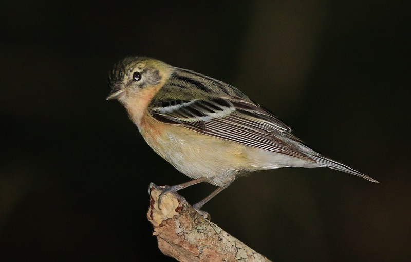 aaHi Isl. May 5 and 6, 2018 316A, 1st year female Bay-breasted Warbler-.jpg