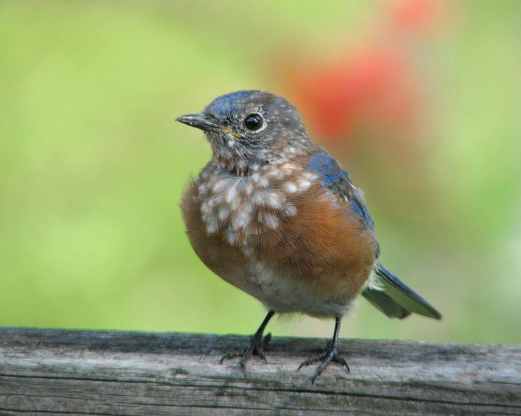 bluebird_fledgling_5178.jpg