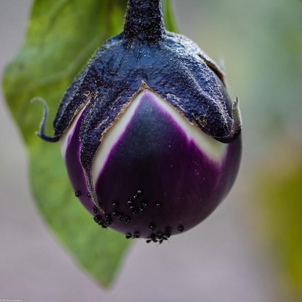 Aubergine and Bugs