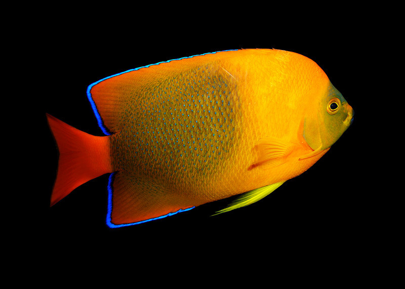 CLARION ANGELFISH - MEXICO