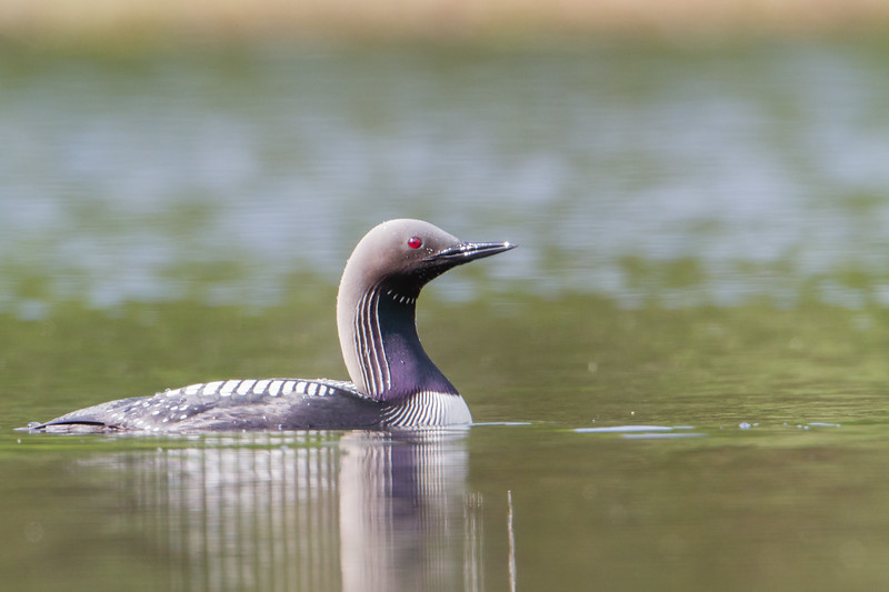 Pacific Loon - Anchorage, AK, USA