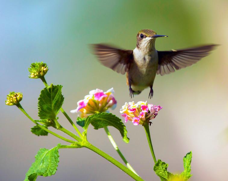 Hummingbird over the Lantana