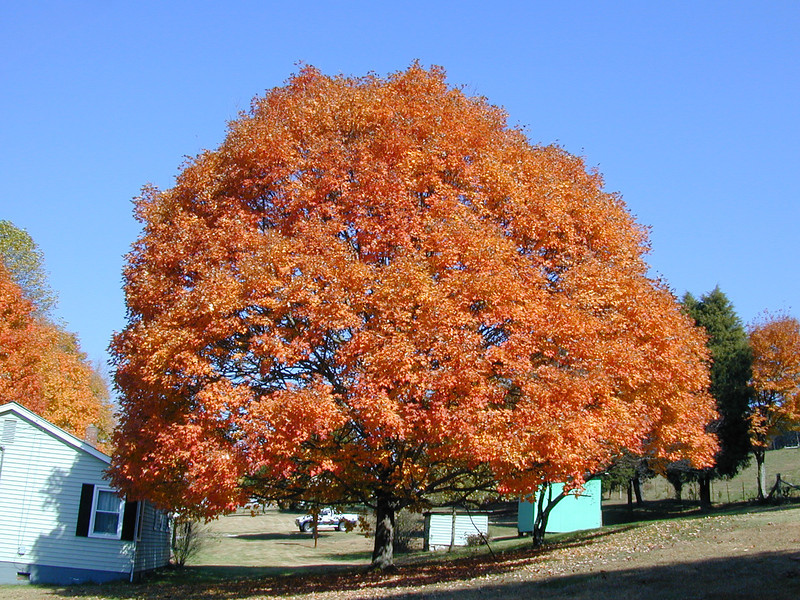 The Maple in Autumn