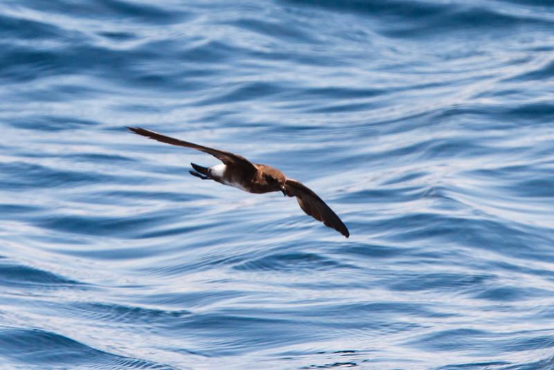 Elliot's Storm-Petrel at between Espanola and San Cristobal, Galapagos, Ecuador (11-21-2011) - 720.jpg