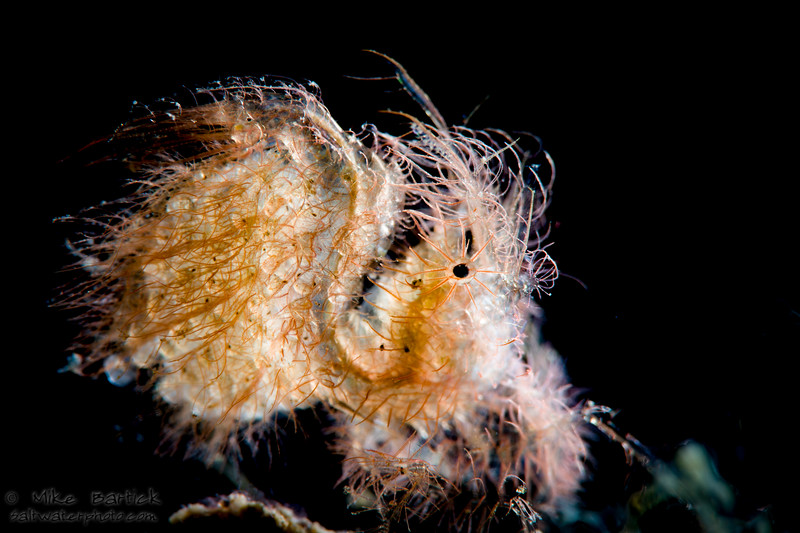 BL_Hairy shrimp (1 of 1).jpg