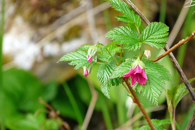 DAY 132 - May 12, 2011 - Salmonberry Blossoms Cynthia Meyer, Tenakee Springs, Alaska