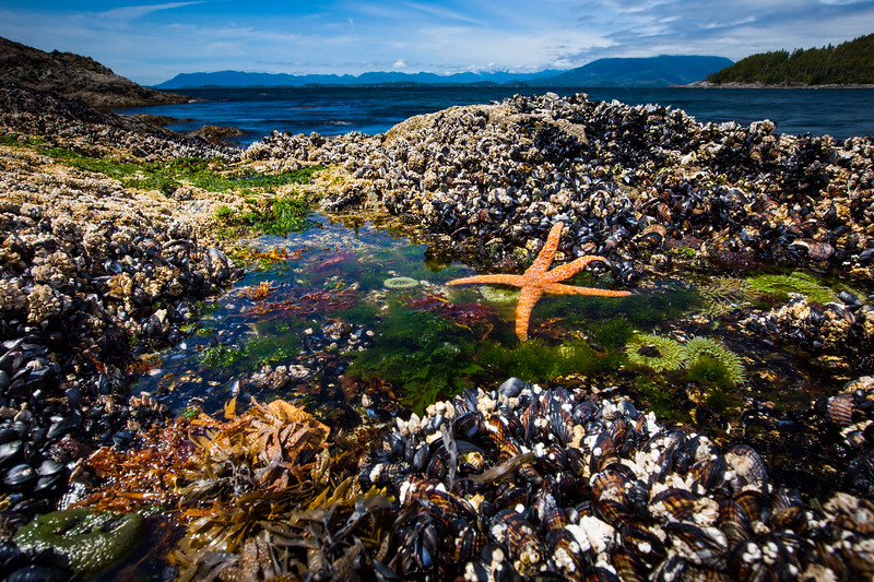 Ochre starfish (Pisaster ochraceus), Goose barnacles (Pollicipes polymerus) and California mussel (Mytilus californianus), Vancouver Island, British Columbia
