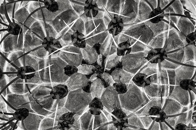 gymnocalycium pflanzii albiflora