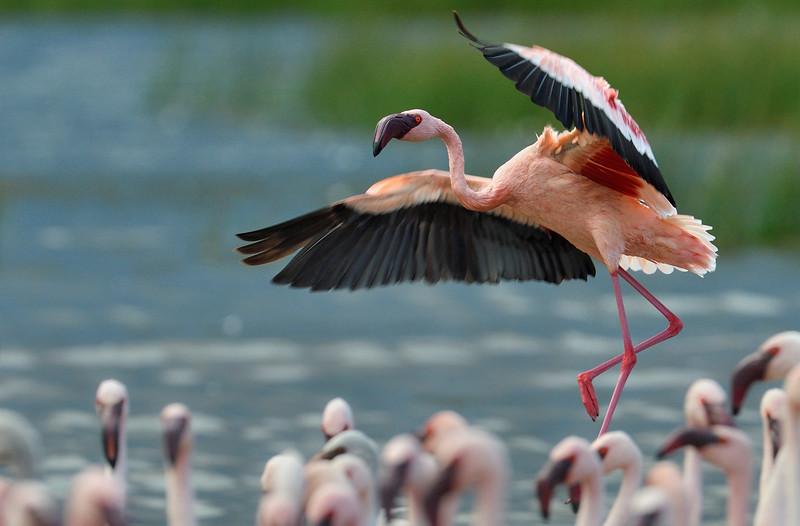 Lesser-Flamingo-Lake-Bogoria-landing.jpg