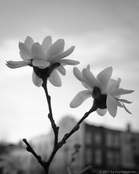 Magnolia Blooms in Baltimore.jpg