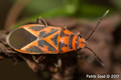 Orange-black Milkweed Bug