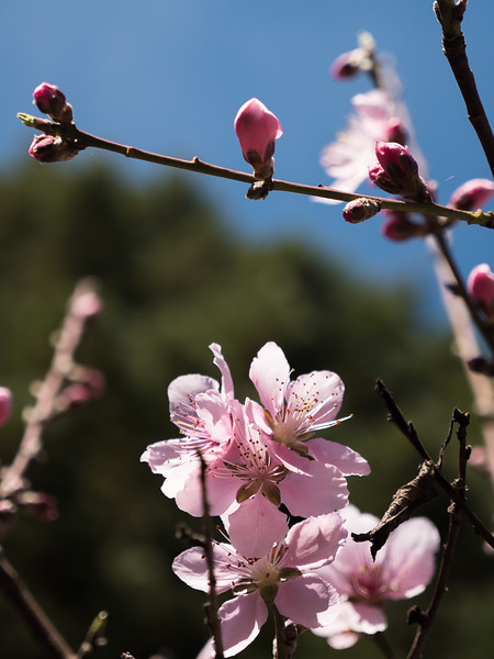 California Cherry Blossoms, 2018.