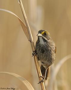 Seaside Sparrow, Ammodramus maritimus