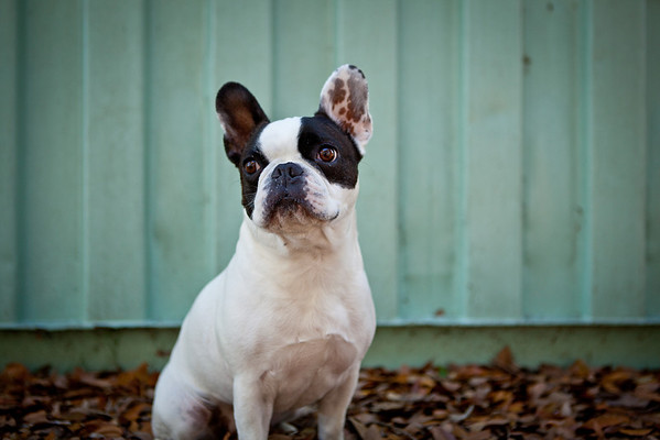 Cody | The Energetic French Bulldog