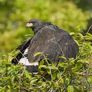 Great BlackHawk