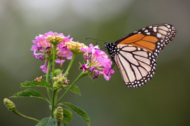 Another Monarch Butterfly in the lantana