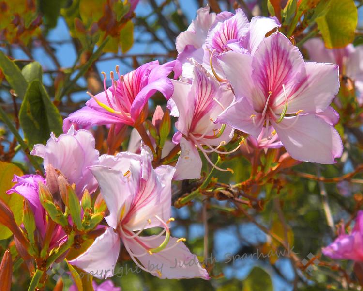 Orchid Tree - Judith Sparhawk