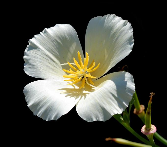 2383 White Blossom.jpg