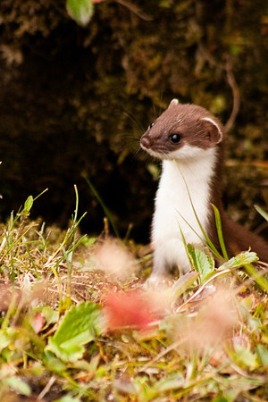 Ermine in Reed Valley