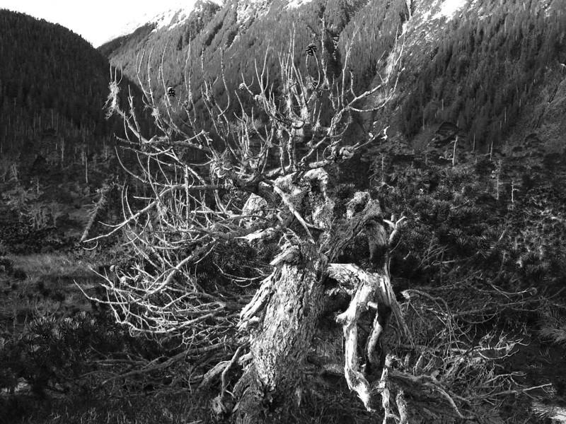 b&w tree.jpg