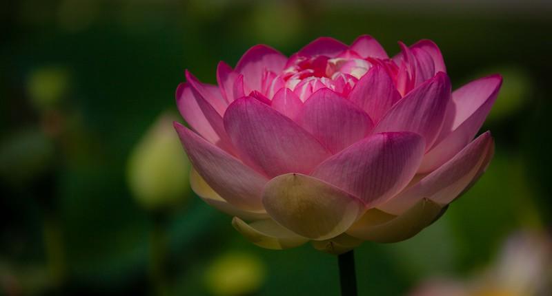 lotus water lilies-3161.jpg