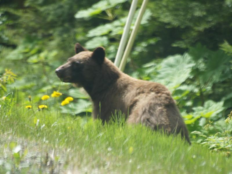 Cinnamon black bear near the Shrine in Juneau