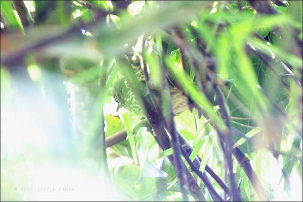 Luzon Striped-Babbler