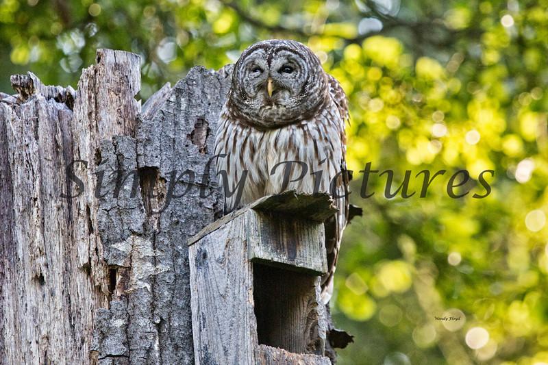 Owl  (32)