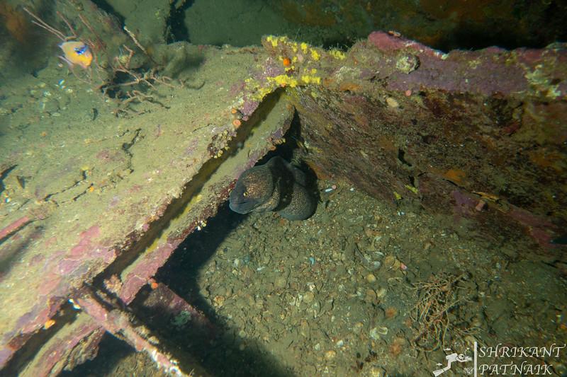Yellow Margin Moray Eel