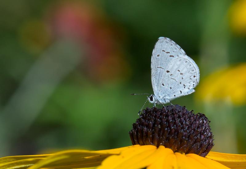 pale blue butterfly on cornflower.jpg