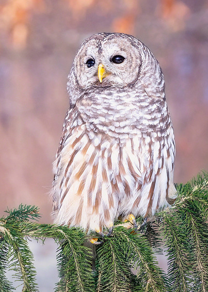 s 5x7 Athena (Barred Owl) Perched On Evergreens.jpg