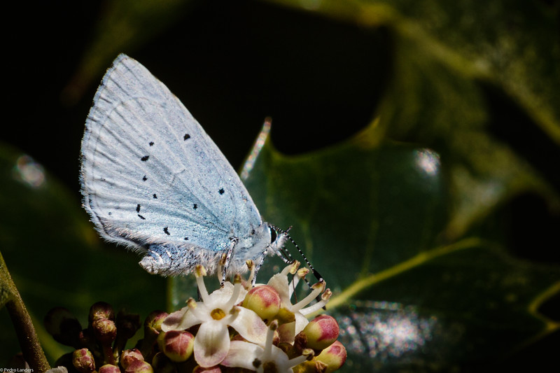 Holly Blue on Holly Flower