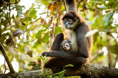 Spider Monkeys - Belize
