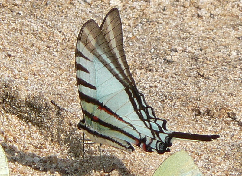 STShort-linedK10776 June 30, 2007  11:40 a.m.  P1010776 Short lined Kite Swallowtail, Protesilaus glaucolaus, on beach at lodge on Rio R