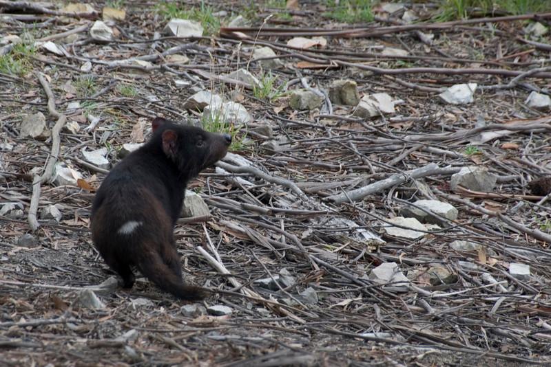 Tasmanian Devil 2 - Tasmania, Australia