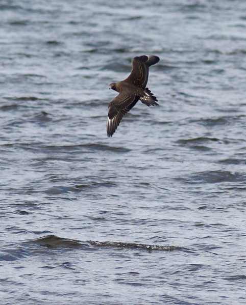 Parasitic Jaeger is regularly seen on Lake Superior in fall. They breed on the arctic tundra from Alaska and Canada to northern U.K., Iceland, Scandinavia and Russia. This juvenile can be separated from juvenile Pomarine by its pointed central tail feathers, small bill and head, lack of white on the base of the underwing primary coverts. [October 21; off Wisconsin Point on Lake Superior, Douglas County, Wisconsin]